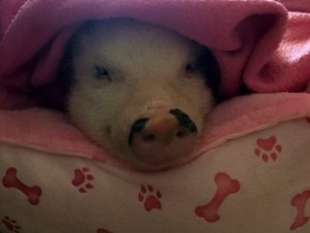 World's Most Pampered Pig Demands Belly Rubs, Builds Pillow Forts And Loves Cheerios