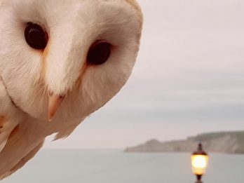 Beautiful Seaside Landscape Picture Scuppered By Photobombing Snowy BARNOWL