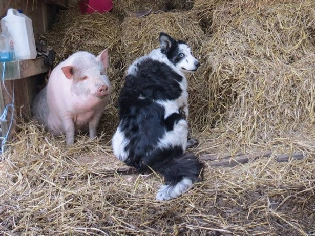 Real Life Babe The Pig Is Left Devastated After Best Friend Sheepdog Dies
