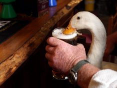Britain's Booziest Duck Pulled Over In Car By Bemused Police