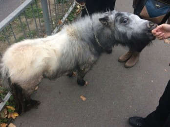 Please help! : Police trying to reunite tiny pony with owner after finding it in a skate park