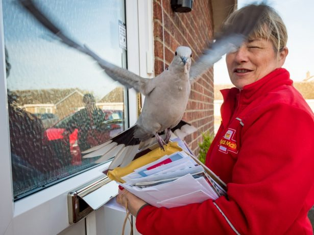 Residents Move Letter Boxes After Postman Complained He Was Being Terrorised By Local DOVE Which Sits On His Head