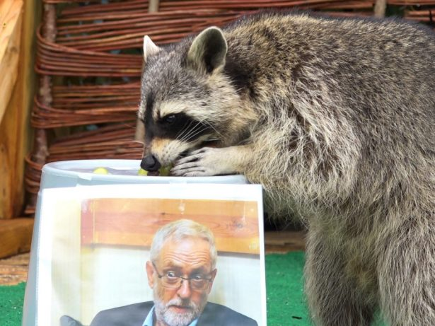 Psychic Raccoon Predicts Corbyn Will Win General Election