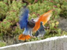 Baffling Footage Shows Pigeons With Multicoloured Feathers