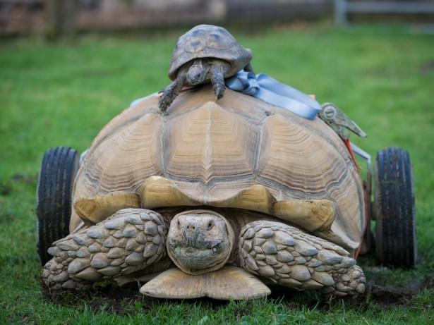 Randy Tortoise Has Set Of Wheels Fitted After Developing Arthritis Through Having Too Much SEX