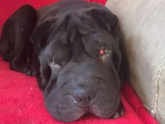 Poorly Pup Desperate For Operation To Cure Her Red 'Demon Eyes'