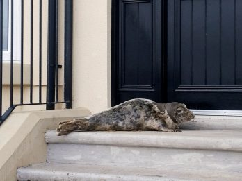 Seal Pup Shelters In Doorway Following Brutal Storms