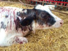 Shocking Pictures Show Calf Fatally Wounded After Being Blasted Twice With Shotgun By Evil Thugs