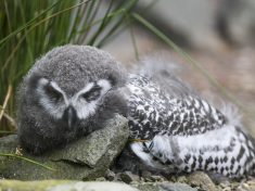 Adorable Sleepy Owl Caught Yawning As It Was Rudely Awakened