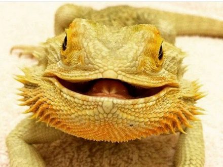 World's Happiest Lizard Becomes Web Star Thanks To His SMILE