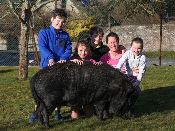 Family Share Their Home With Massive 20 Stone Pig They Found Loose In Village