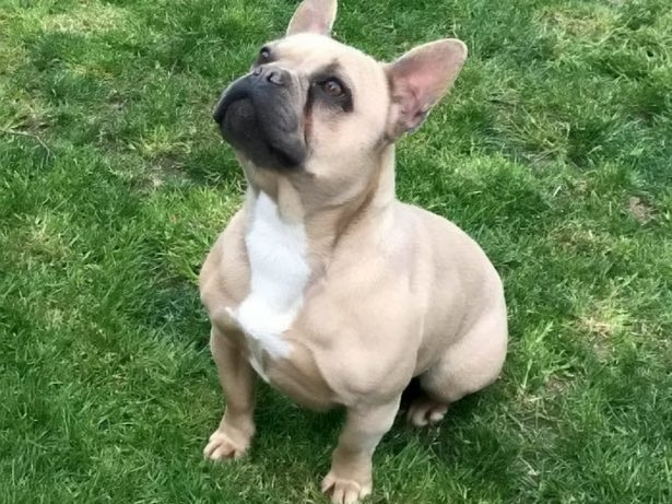 Family Desperately Searching For Stolen French bulldog After Break-In That Also Saw Pet Duck Killed