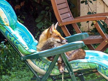 Fox Spotted Soaking Up The Rays On A Sunbed On The Hottest Day Of The Year