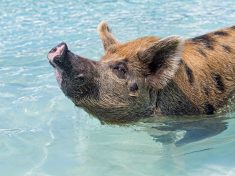 Aww! – Adorable Pigs Cool Off With A Swim In The Bahamas
