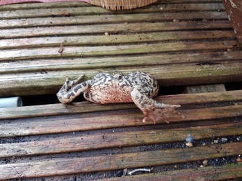 RSPCA called to save a fat toad that got stuck in decking