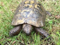 70-Year-Old Runaway Tortoise Who Escaped From Home – Travelled An Incredible Six MILES In One Day
