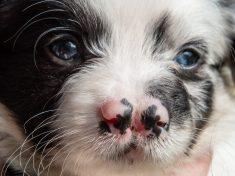 This Adorable Border Collie Puppy Was Born With TWO Noses – Making Him Twice As Cute