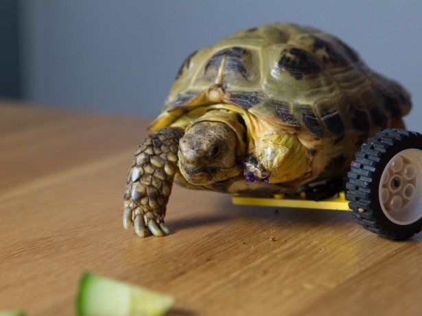 Three-Legged Tortoise On Road To Recovery After Having Wheel Fitted Made Out Of Lego