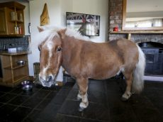 Shetland Pony Which Thinks It's A Dog Loves Sitting In Front Of The Fire Watching Soaps