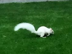 Shock As Woman Spots Rare White Squirrel Scurrying Across Back Garden