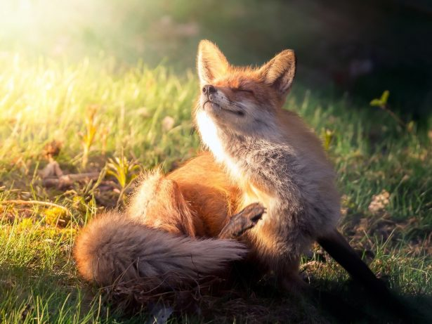 Enchanting Images Capture Rare Glimpse Into The Lives Of Wild Foxes