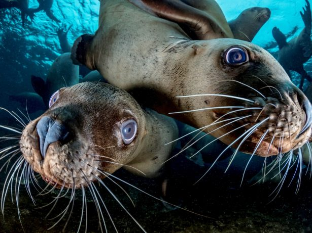 British Photographer Mobbed By Large Numbers Of Sea Lions Whilst Photographing Them