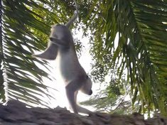 WATCH: Remarkable Video Shows Monkey With Congenital Defect Using Front Legs To Walk