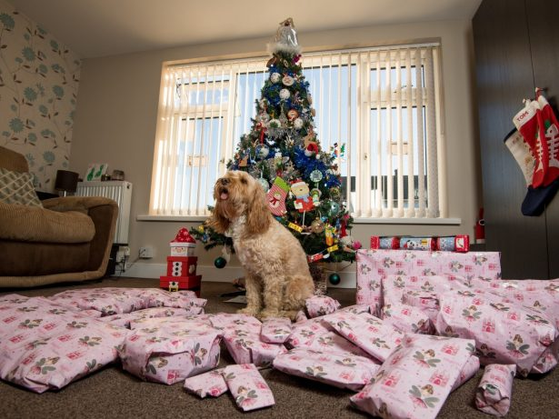 Britain's Most Pampered Pooch Celebrates Christmas In The Lap Of Luxury With Thousands Of Pounds Worth Of Gifts