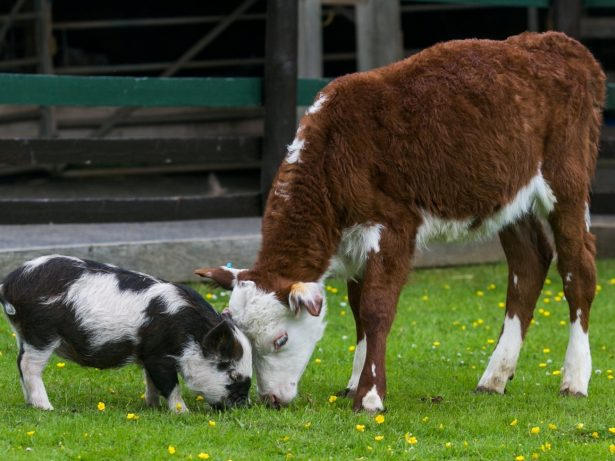 Miniature Pig And Calf Become Best Of Friends