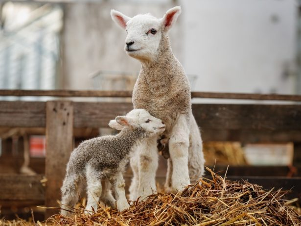 One Of Britain's Biggest Lambs Born Weighing The Same As Average Toddler