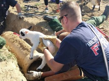 Team Of Firefighters Rescued Baby Goat Trapped In A Drainpipe