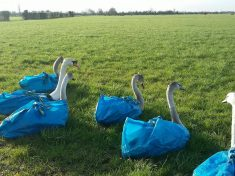 Bird Sanctuary Starts Rescuing And Carrying Its Swans Around In IKEA Bags!