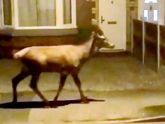 Residents Stunned After Spotting A DEER Nonchalantly Roaming The Streets Of Birmingham