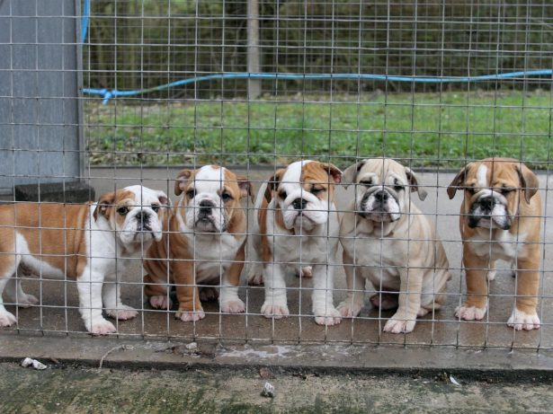 Bulldog Puppies Smuggled Into UK With Umbilical Cords Attached Following 30 Hour Journey