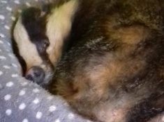 Adorable Wild Badger Discovered Asleep In Cat Bed After Sneaking Into Home