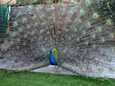 Peacock Captured After Going Awol While Missus Was Pregnant