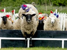 Traditional Sheep Race Axed For The First Time In 30 Years After Owners Receive Threats From Angry Vegans