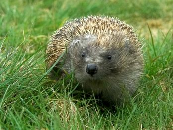 Zeppelin The 'Beach Ball' Hedgehog Released Back To The Wild