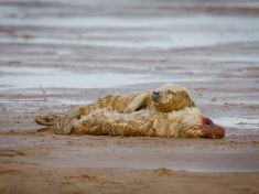 Tear-Jerking Picture Shows Young Seal Refusing To Leave Dead Friends Side