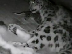 Zoo Cam Shows The Precious First Moments Of A Rare Snow Leopard Cub As It Snuggles Its Mum