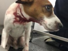 Thugs Set 'Pitbull' On Dog Walker's Helpless Jack Russell In Planned Attack
