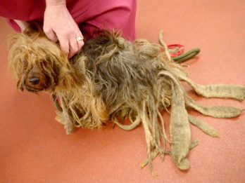 Cruel Pet Owner Banned From Keeping Animals After Leaving Dog To Grow Foot-Long Dreadlocks