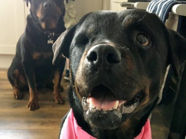 Shocking Pictures Show An Extremely Underweight Rottweiler That Had To Have Its Eye Removed After Being Neglected By Its Owner