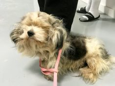 Dog With Dreadlocks Undergoes Incredible Three-Hour Transformation – Losing 4.5lbs Of Matted Fur