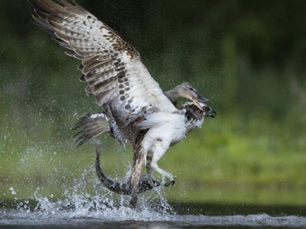 Amazing Pictures Show The Moment An Angry Duck Decided To Take On An Osprey