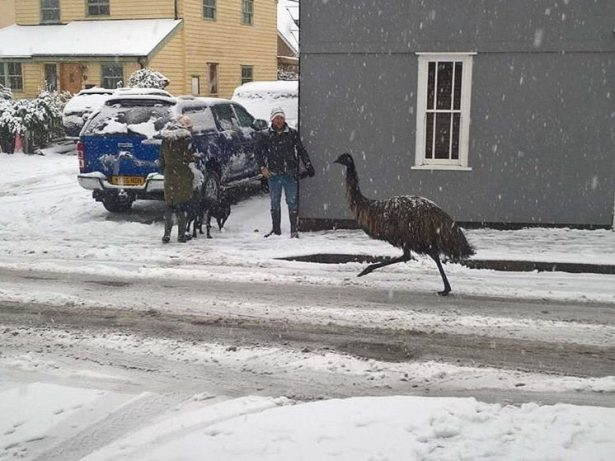 Flabbergasted Residents Witness Three Men Chase Escaped Emu Before Putting It In A Headlock To Restrain It