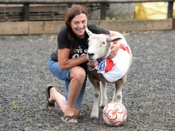 Football-Loving Sheep, Alan - Likened To His Namesake Shearer - Practises Skills Before The Big Game