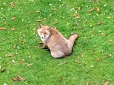 "Urban Fox Dubbed Britain's Fattest – After It Was Spotted ""Waddling"" Through A Garden"