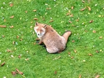 Urban Fox Dubbed Britain's Fattest - After It Was Spotted