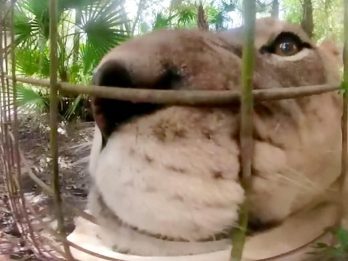 Incredible Footage Shows Lioness Getting Up Close And Personal With Camera In Its Den